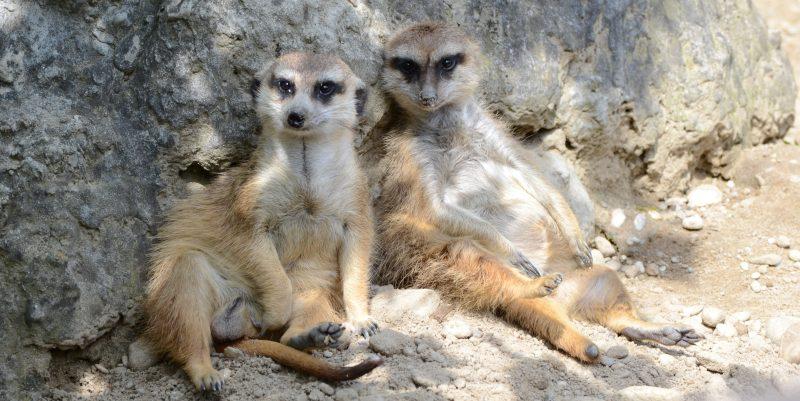 surikaty zoo zvierata
